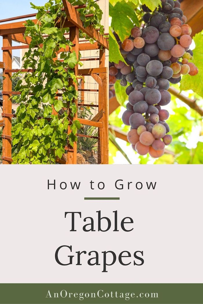 hot to grow table grapes_image