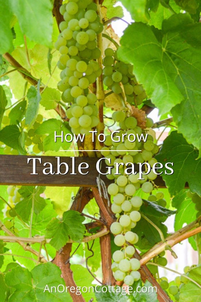 how to grow table grapes