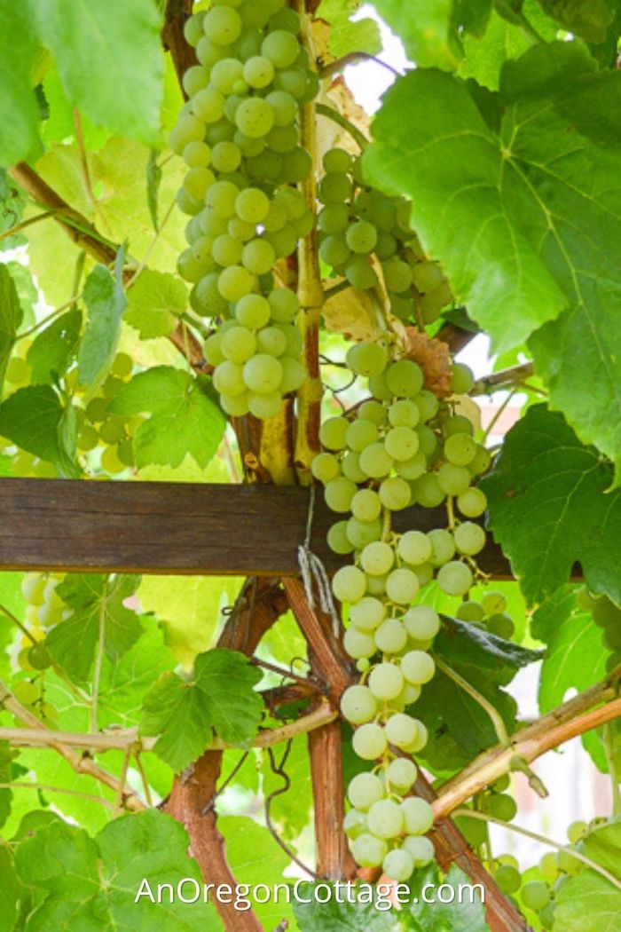 how to grow table grapes_featured