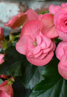 Blooming Pink Begonia :: AnOregonCottage.com