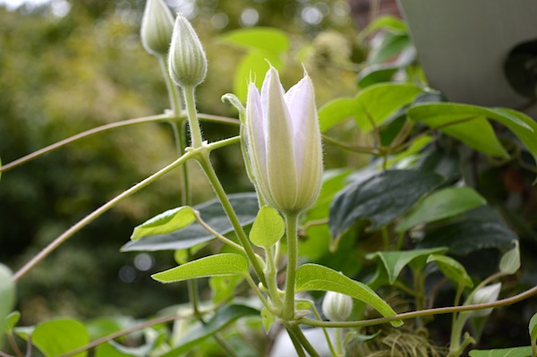 September Clematis buds :: AnOregonCottage.com