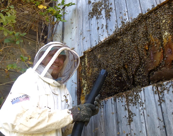Harvesting Wild Bees: Barn wall fully opened