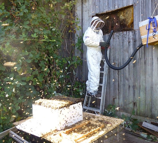How to Harvest Wild Bees::An Oregon Cottage