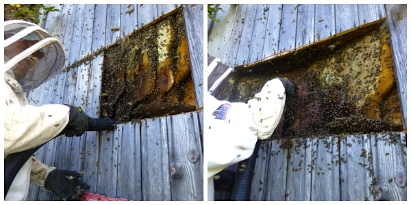 Wild Bees:Extracting bees from an old barn