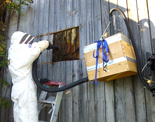 Harvesting Wild Bees:Extracting with Homemade Bee Vac