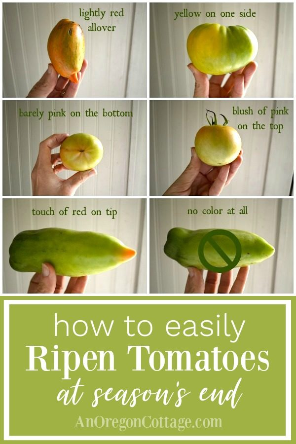 How to easily ripen tomatoes at season's end