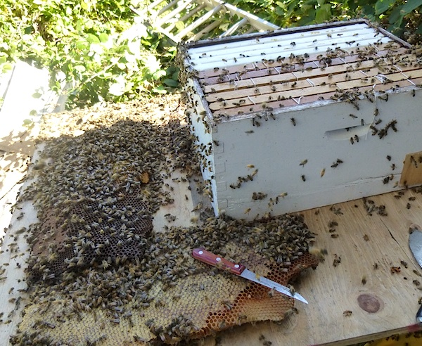 Harvesting Wild Bees: Bees into new hive