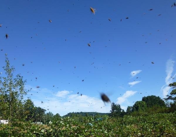 Harvesting Wild Bees