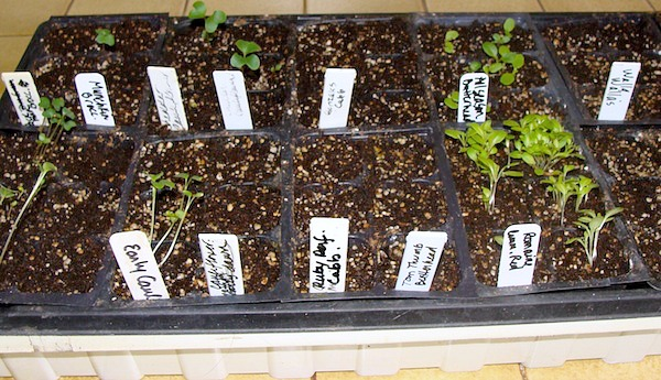 One Week Seedlings - Seed Starting Basics :: An Oregon Cottage