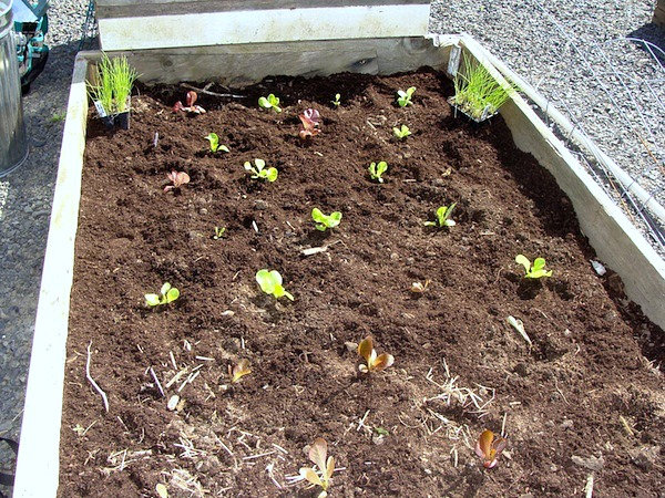 Planting Seedlings - Seed Starting Basics :: An Oregon Cottage
