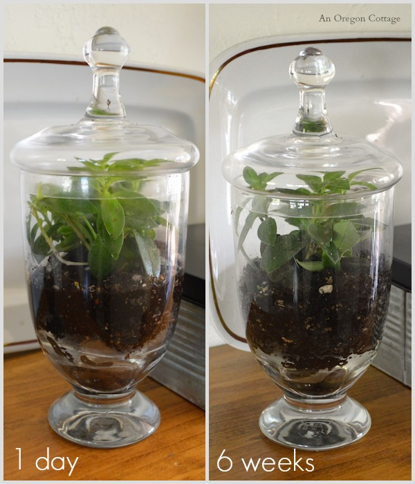 10-Minute Terrarium at 1 day and 6 weeks - An Oregon Cottage