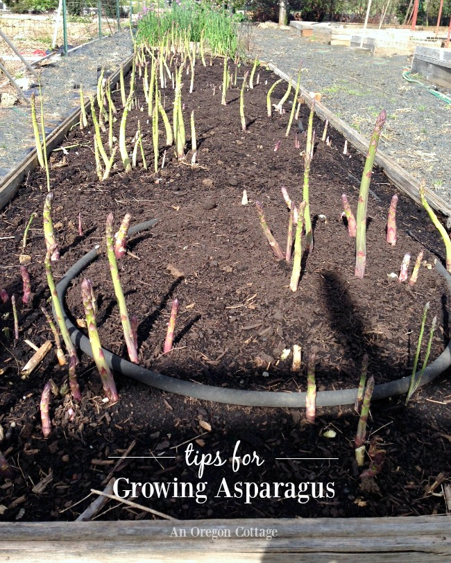 Asparagus growing tips