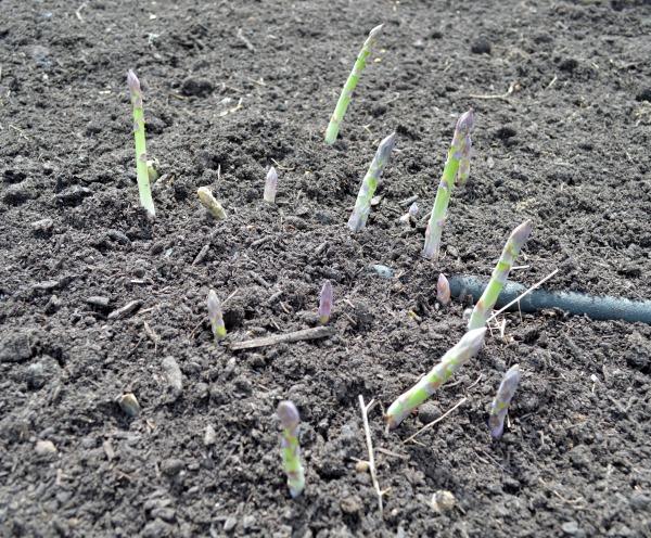 asparagus shoots.04.14 - An Oregon Cottage