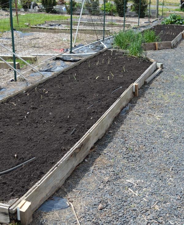 aspargus beds.04.14 - An Oregon Cottage
