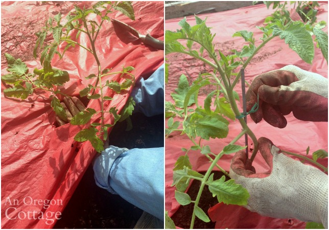 Firming and tying newly planted tomatoes