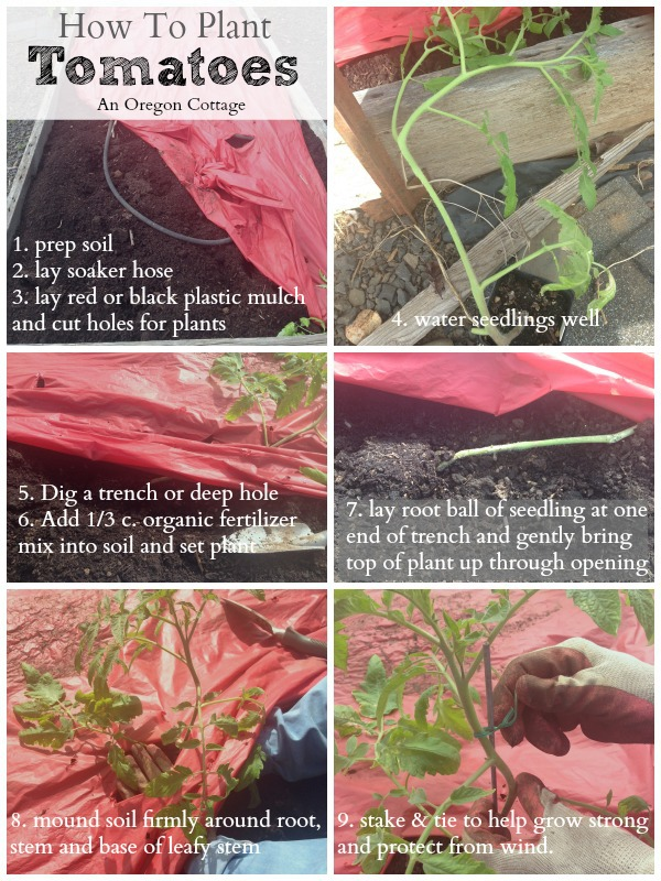 How To Plant Tomatoes - An Oregon Cottage