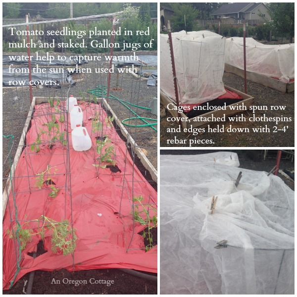 How to Plant and Protect Newly Planted Tomato Seedlings - An Oregon Cottage
