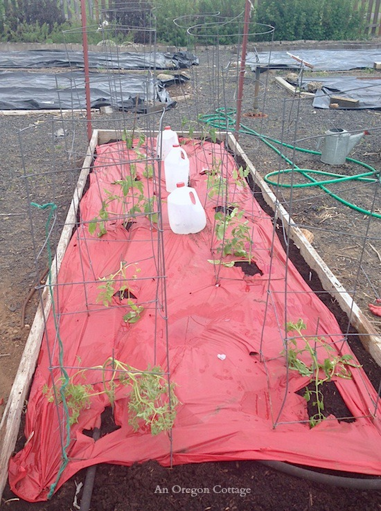 Newly planted tomato seedlings with cages and red mulch - An Oregon Cottage