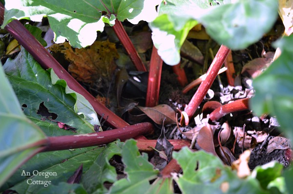 Rhubarb Growing Guide -Too Shaded Plant | An Oregon Cottage