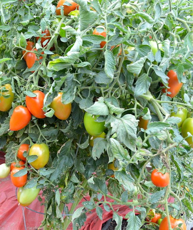 Ripening Roma Tomatoes