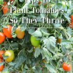 Tips to plant tomatoes to thrive