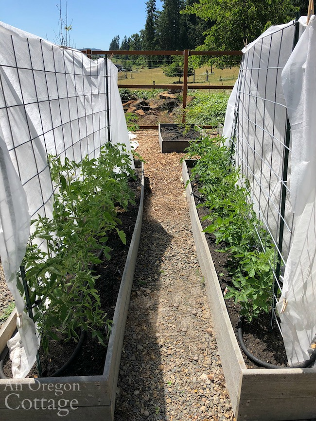 Tomatoes in raised beds-cattle panels
