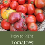 how to plant tomatoes so they thrive_