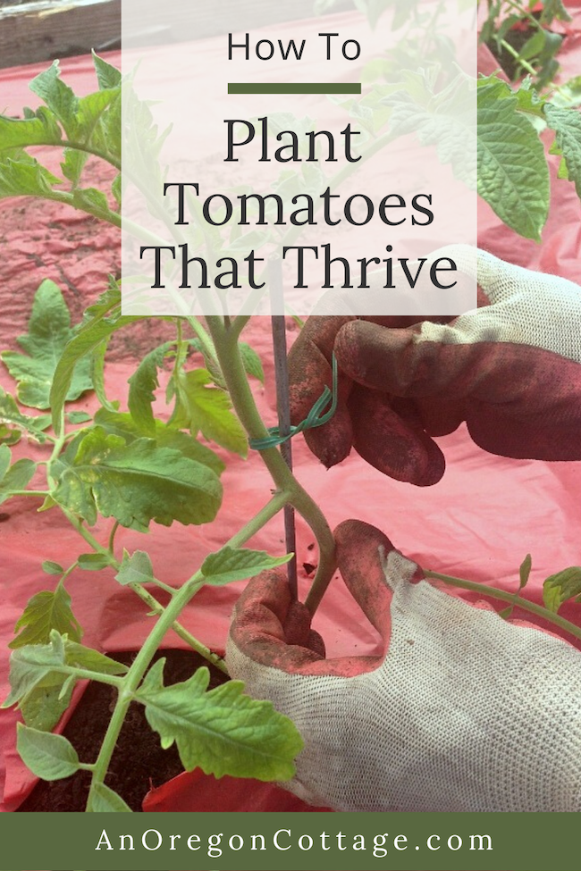 how to plant tomatoes that thrive