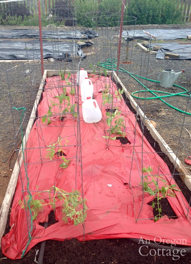 tomatoes planted with cages