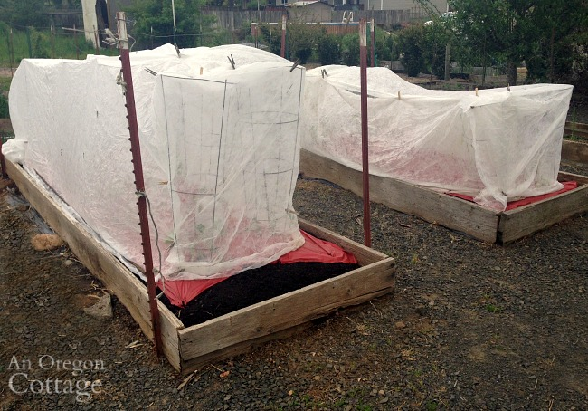 tomatoes planted with row covers