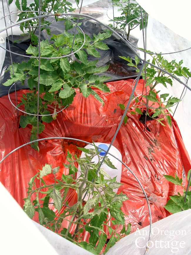 tomatoes under cover with water jugs