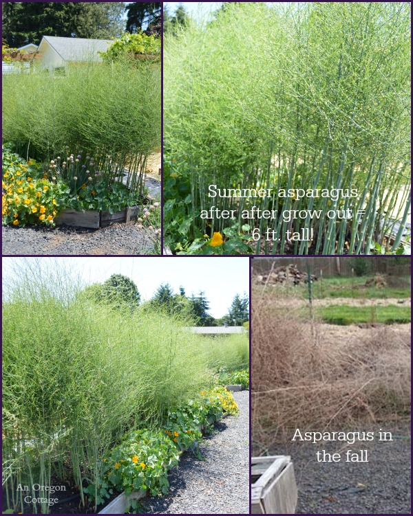 Ultimate Asparagus Guide-summer asparagus bushes - An Oregon Cottage