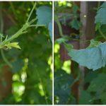 Bug-Eaten Trumpet Vine - An Oregon Cottage