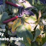 Fighting Early Tomato Blight - An Oregon Cottage