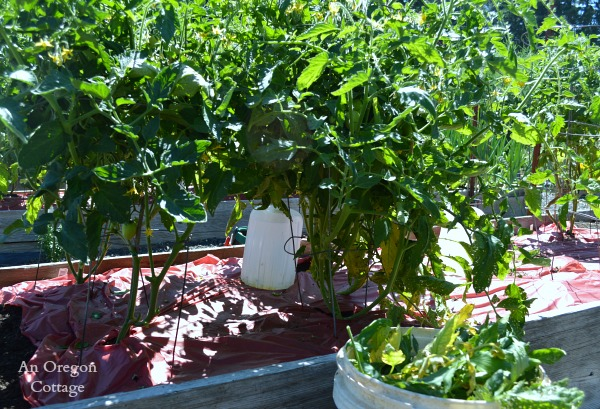 Pruning Tomatoes with Early Blight - An Oregon Cottage