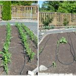 The Tale of Two Corn Beds - An Oregon Cottage