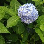 Summer Rain on Hydrangea - An Oregon Cottage
