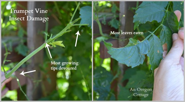 Trumpet Vine Insect Damage - An Oregon Cottage