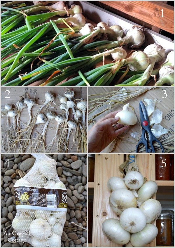 Ultimate Onion Guitde-Drying and Storing Onions via An Oregon Cottage