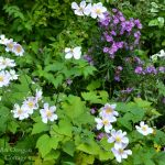 October Anemone and Asters - An Oregon Cottage