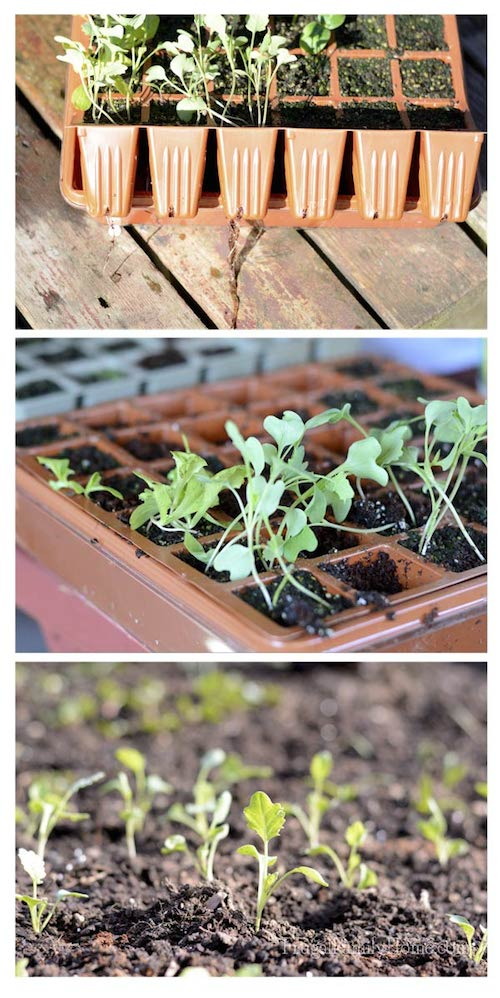 Broccoli-Seedlings via Frugal Family Home