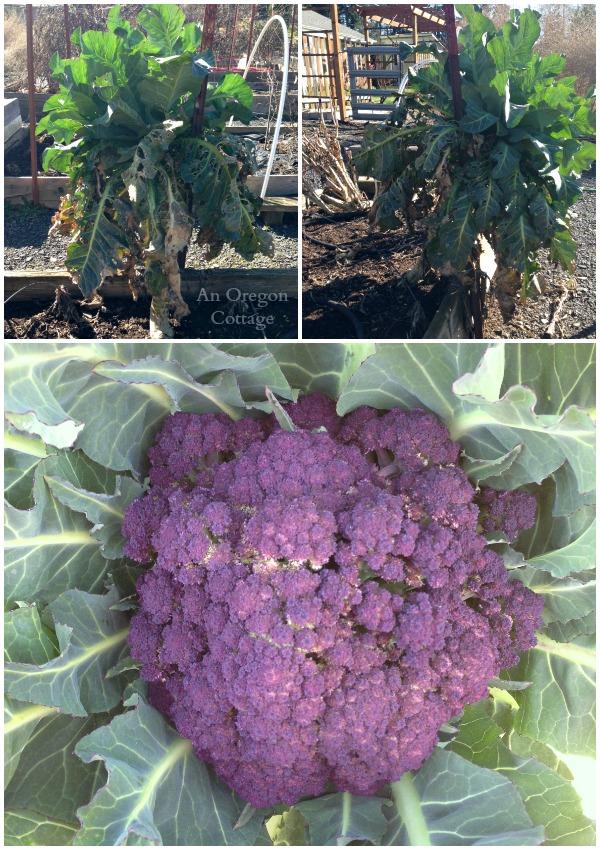 Overwintered Purple Cauliflower Collage
