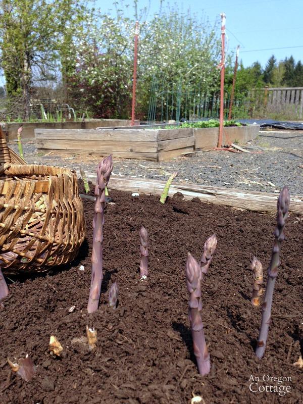 Harvesting Asparagus on a Spring Day!