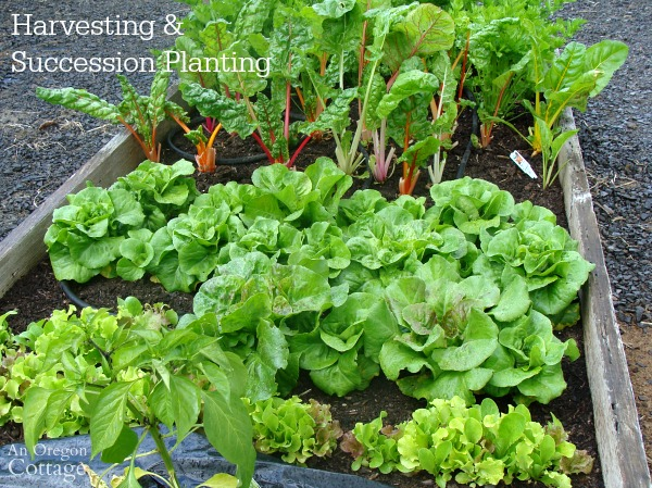 Ultimate Lettuce Guide- Harvesting & Succession planting