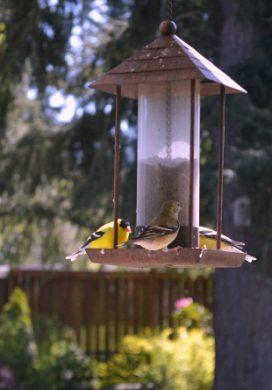Yellow Finches at Bird Feeder