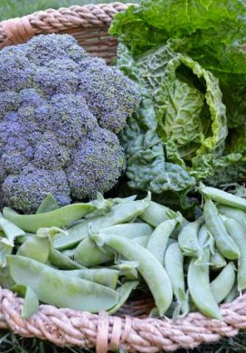 Broccoli-Cabbage-Pea Harvest