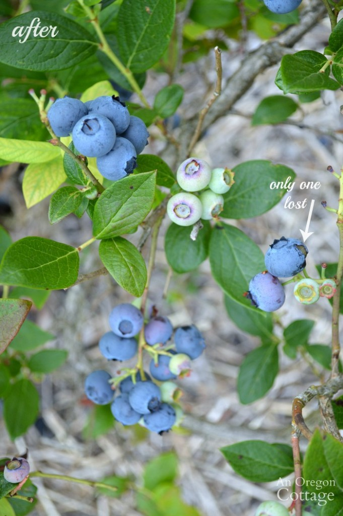 How to keep birds out of the garden Blueberries after using dollar store bird scare items