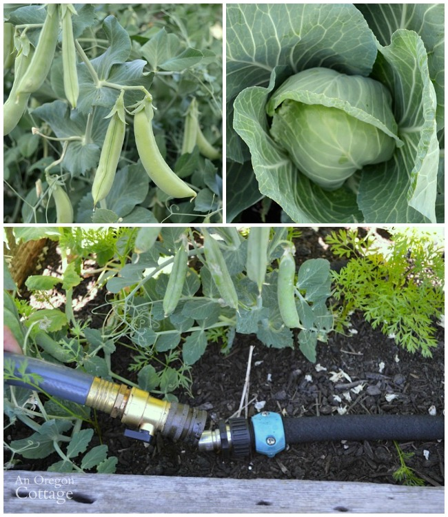 Keep vegetables watered easily with soaker hoses