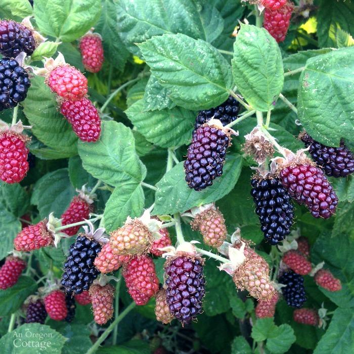 Late June Marionberries