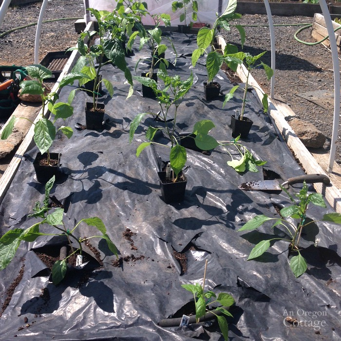 Planting home grown pepper plants
